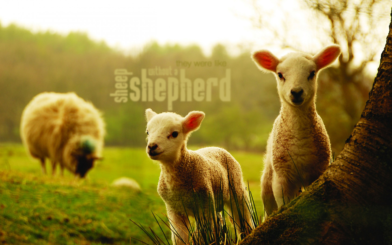 Without A Shepherd Christian Wallpapers