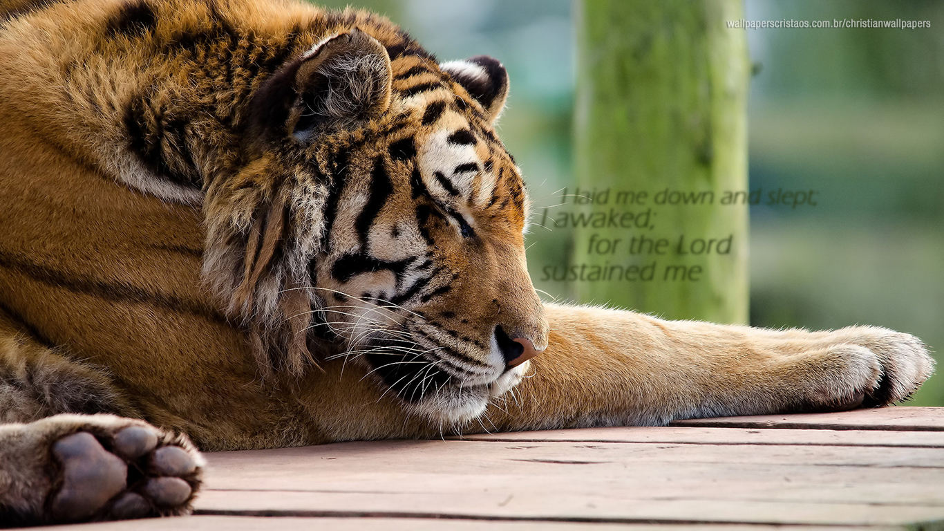 I laid me down and slept Lord sustained me tiger christian wallpaper hd_1366x768